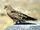 Greater Kestrel