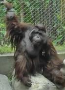 LA Zoo Orangutan