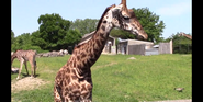 Louisville Zoo Giraffe
