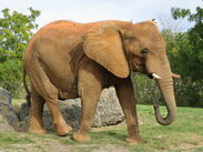 Loxodonta-africana