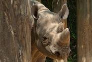 Photo-detail-asia-black-rhino-4