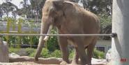San Diego Zoo Indian Elephant