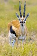 2009-thom-gazelle