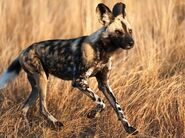 Eb5c5e1141e5b2f05311378749c65e64--african-wild-dog-wild-dogs