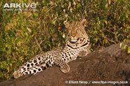 Female-African-leopard-lying-on-a-rock