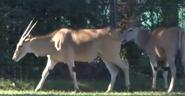 Nashville Zoo Elands