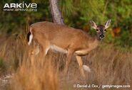 Odocoileus-virginianus-clavium-doe