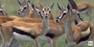 African Cats Gazelles