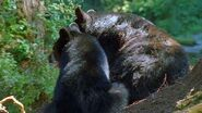 Asiatic black bear boar and sow