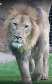 Audubon Zoo Lion