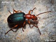 Beetle, Bombardier