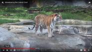 Detroit Zoo Tiger