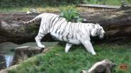 Memphis Zoo Bengal Tiger (White)