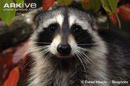 Northern-raccoon
