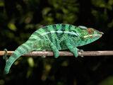 Chameleon (animal)