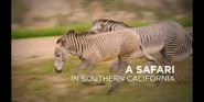 SDZ TV Series Zebras