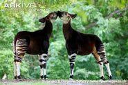 Two Okapis