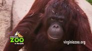 Virginia Zoo Orangutan