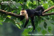 White-throated-capuchin