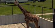 Wilstem Ranch Giraffe