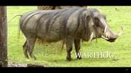 Cincinnati Zoo Warthog