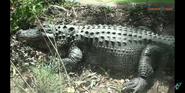 Columbus Zoo Alligator