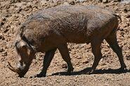 CommonWarthog