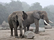 Male and Female African Elephants (Animals)