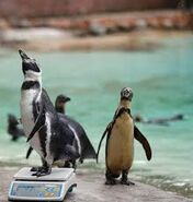 Noah's Ark African Penguins