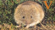 V is for Vole