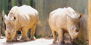 Birmingham Zoo Rhinos