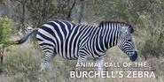 KNP Zebra2