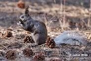 Kaibab-squirrel-xxx09e803