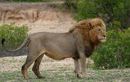 LionImage