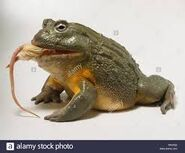 Mice and Bullfrogs