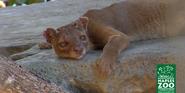 Naples Zoo Fossa