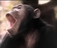Really Wild Animals Chimpanzee