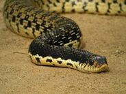 1200px-Malagasy Giant Hognose Snake