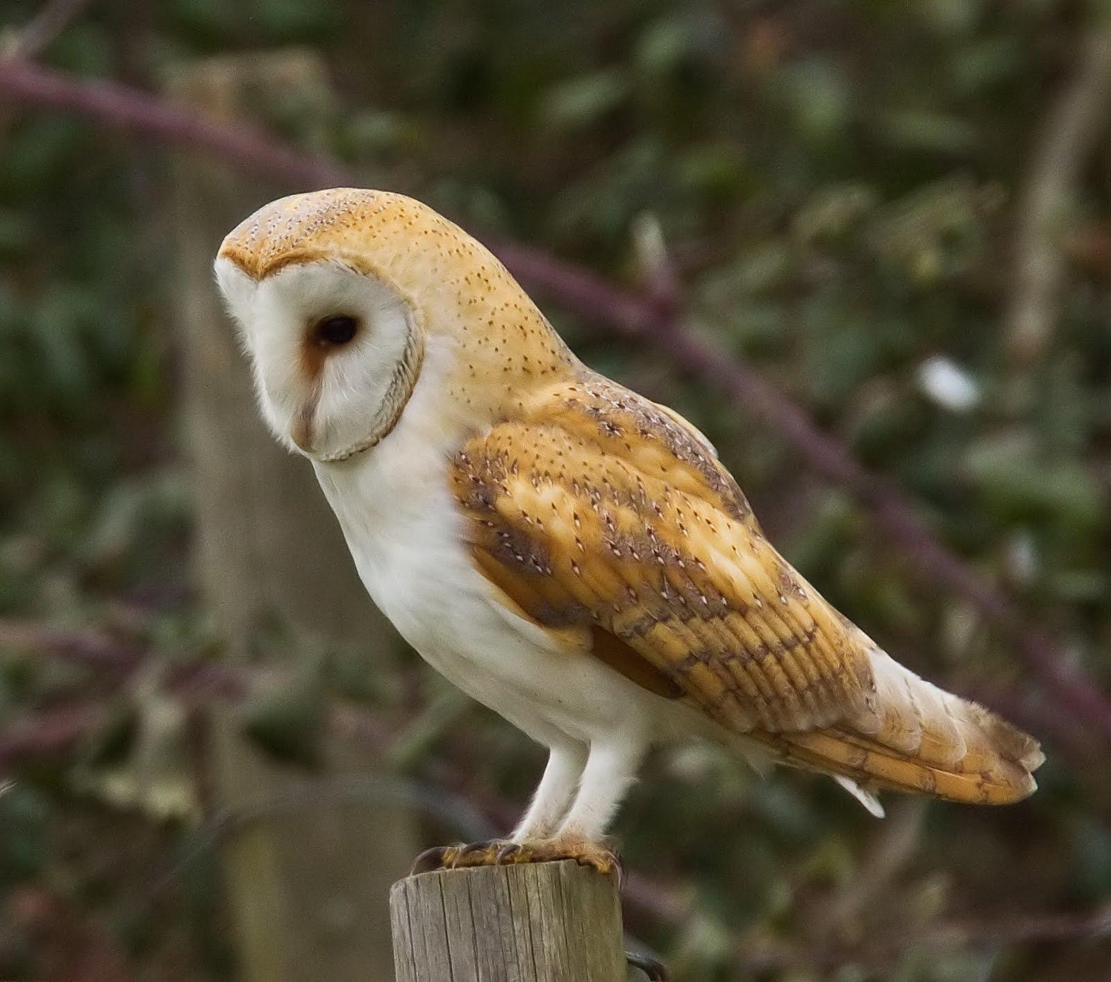 Barn Owl | The Parody Wiki | FANDOM powered by Wikia