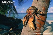 Coconut-crab-on-palm-trunk