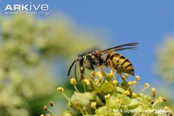 Common-wasp-dusted-with-pollen-feeding-on-ivy-flowers