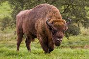 Csm Bison bonasus Foto1 77f20d495b