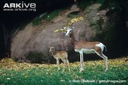 Female-mhorr-gazelle-and-infant