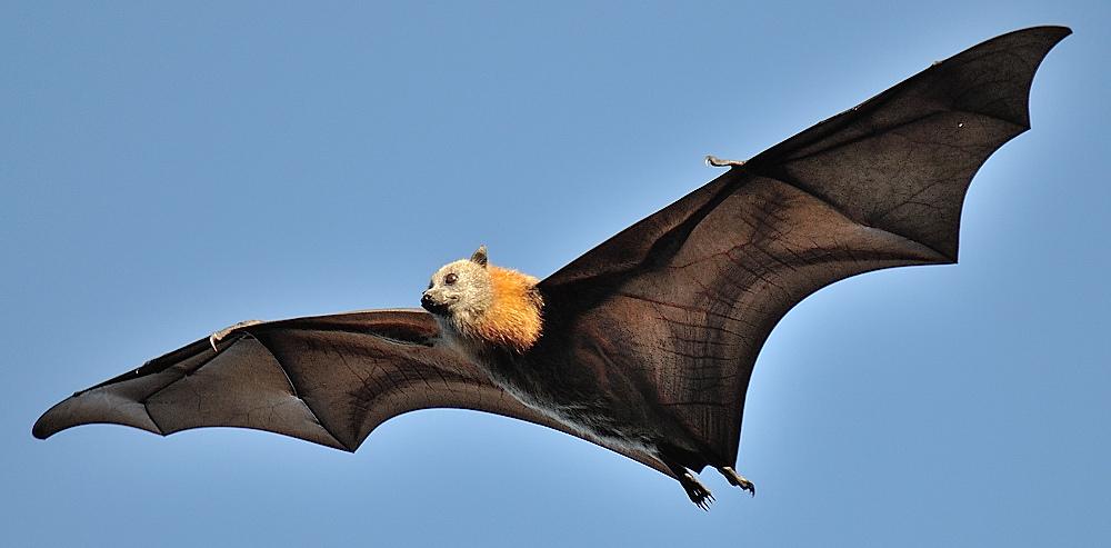 Grey Headed Flying Fox The Parody Wiki Fandom Powered