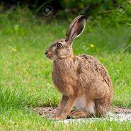 Hare (Lepus)