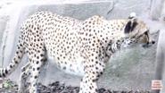 Milwaukee County Zoo Cheetah