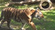 Seneca Park Zoo Tiger