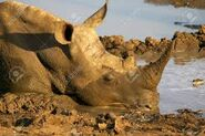 White Rhino at Mudbath