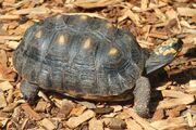 Chelonoidis carbonaria LoroParqueTenerife red-foot tortoise IMG 5135