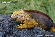 Iguana, Galápagos Land